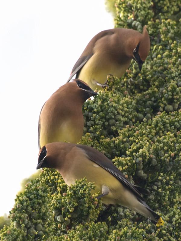 Cedar Waxwings in Evergreen Tree