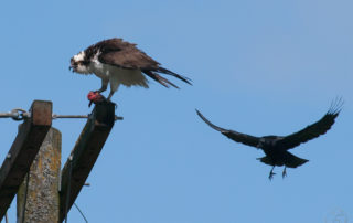 Osprey Mobbed by Crow