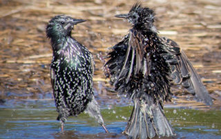 European Starling Bath 2