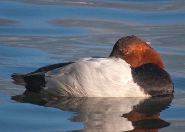Sleeping Canvasback duck