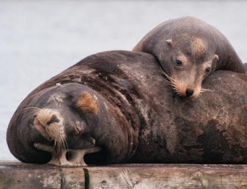 Sea Lion Branding in Oregon