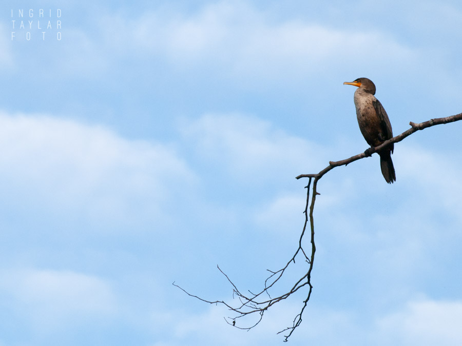 Cormorant Perched on Branch in Seattle