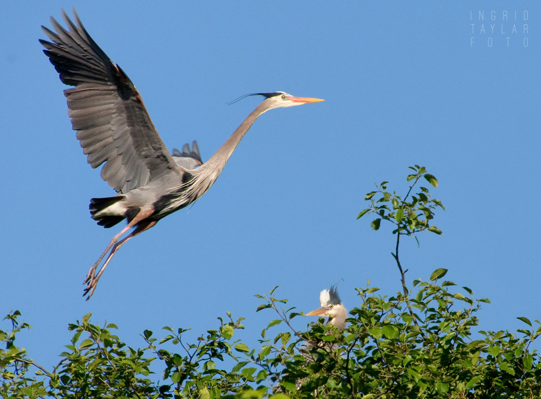 Great Blue Heron at Rookery Ballard Locks