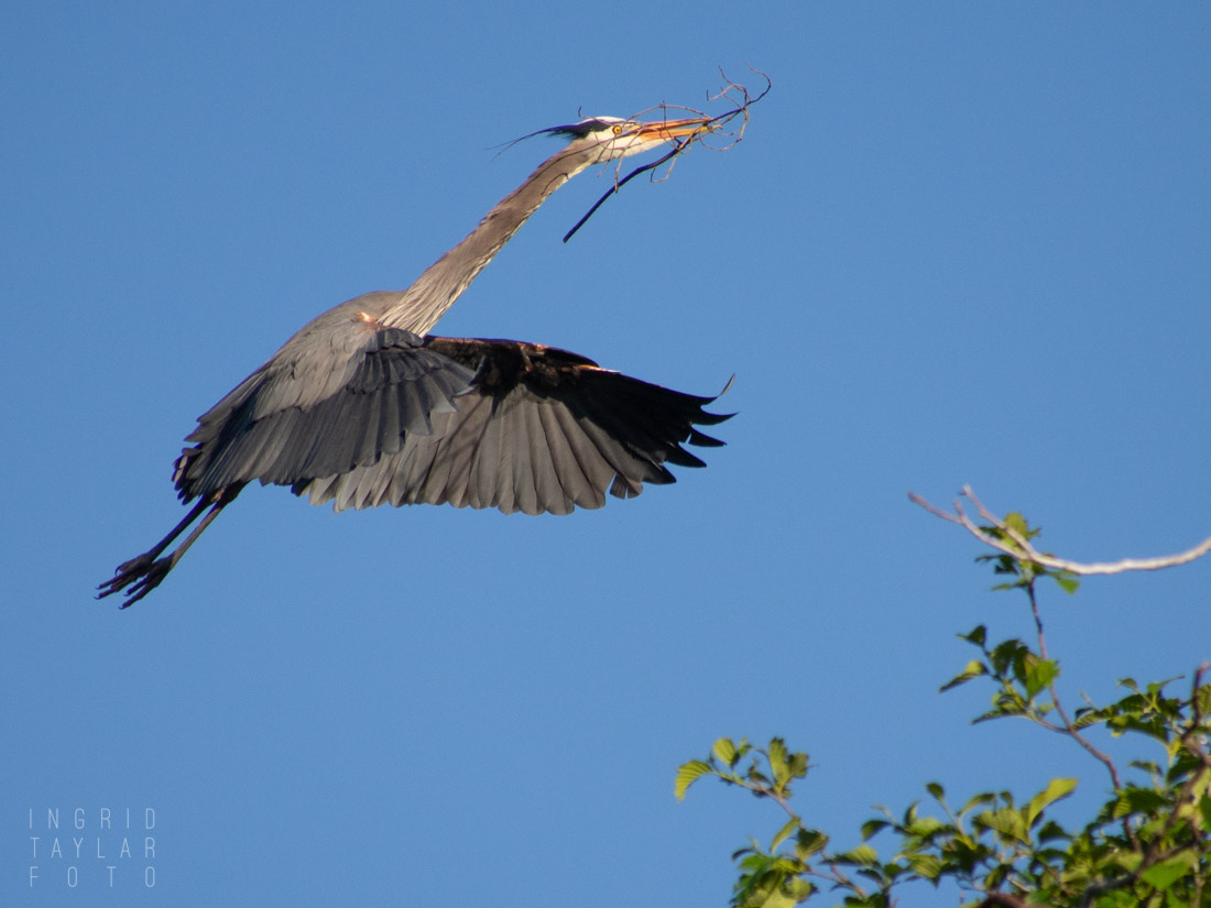 Great Blue Heron at Rookery 2