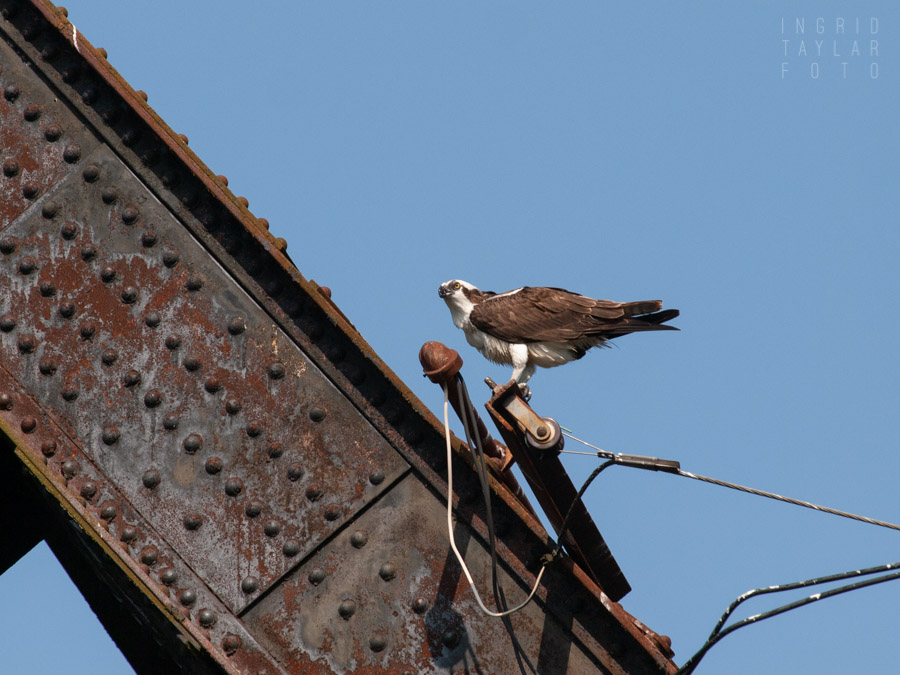 Osprey Perched on Railroad Bridge