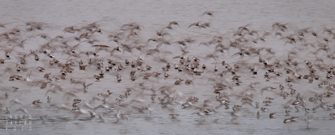 Grays Harbor Shorebird Migration