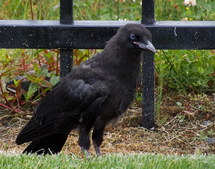 Fledgling Crow with blue eyes