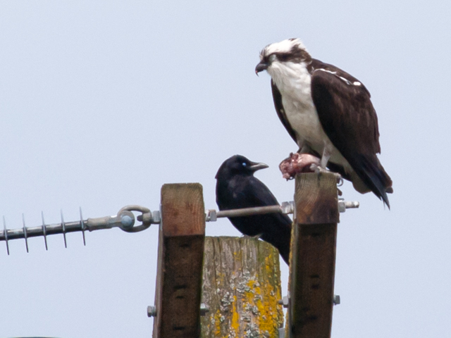 Osprey Sitting Near Crow