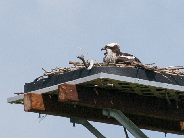 Osprey on Nesting Platform