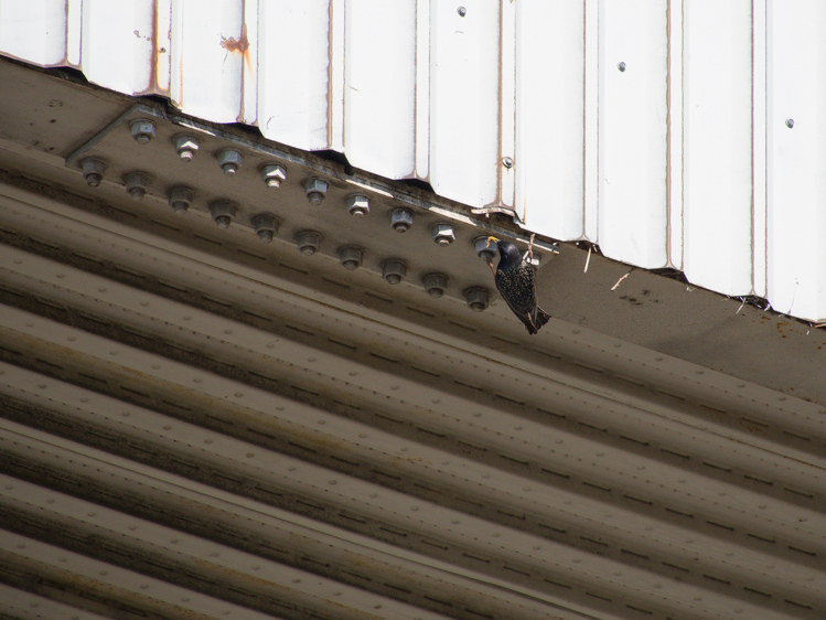 European Starling at urban nest