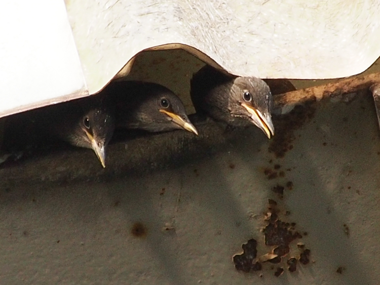 European Starling Nestlings