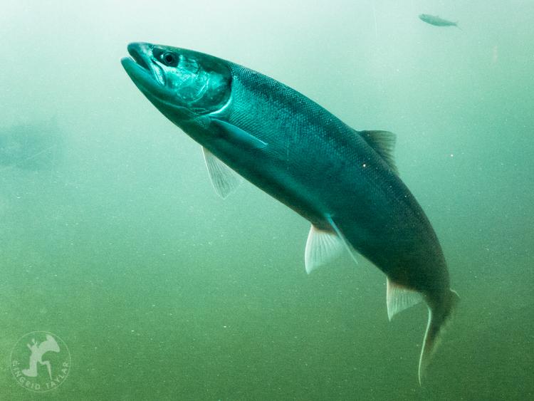 Salmon Swimming in Seattle
