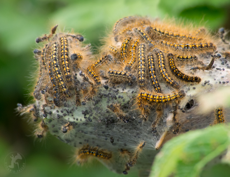 Tent Caterpillars on branch