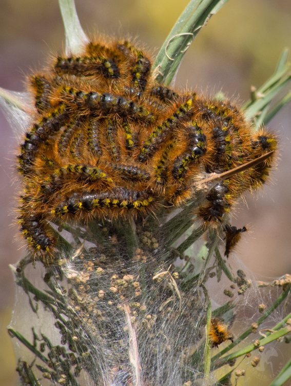 Western Tent Caterpillar Larvae Cast Skins And