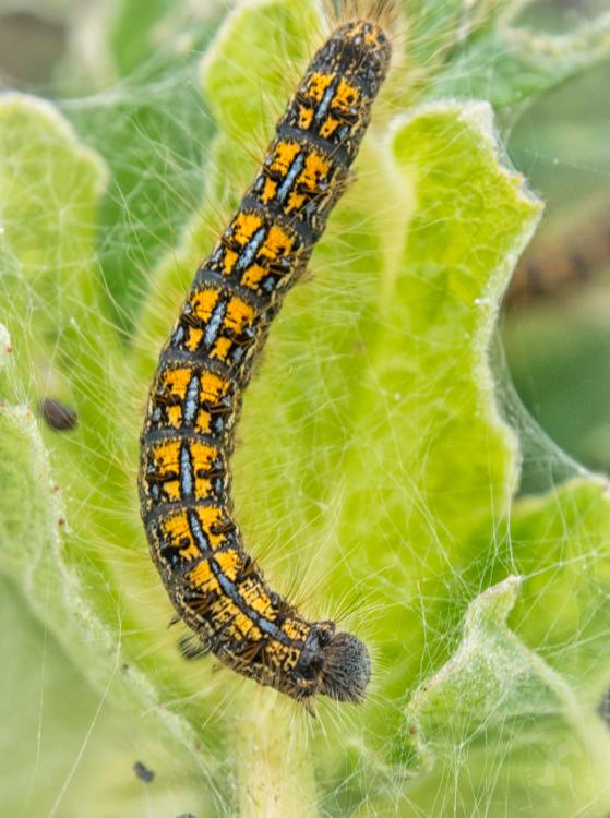 Tent Caterpillar on leaf