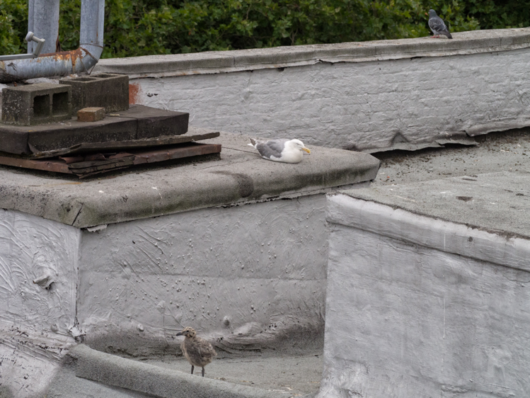 Gull Nest on Seattle Rooftop