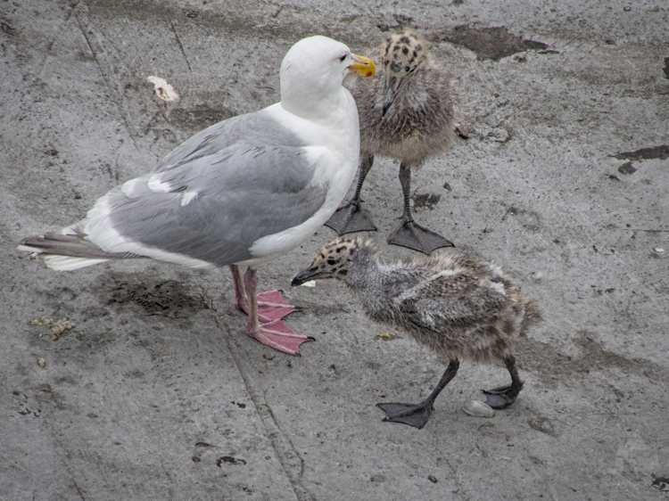 Glaucous-winged Gull parent and chicks