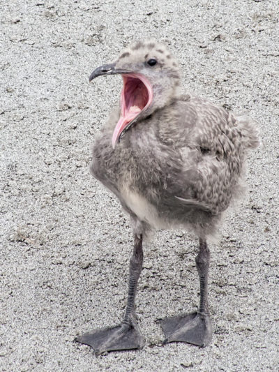 Glaucous-winged Gull chick yawn