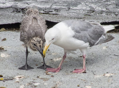 Glaucous-winged Gull parent and chick