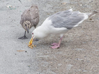 Glaucous-winged Gull parent feeding chick