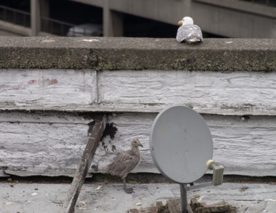 Glaucous-winged Gulls in rooftop nest