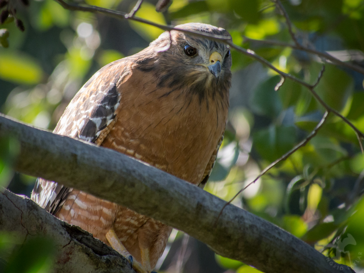 Hawk looking through branches