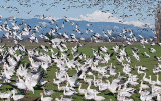 Snow Geese taking flight on Fir Island Washington