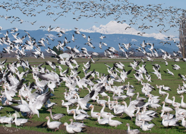 Snow Geese on Fir Island in Washington