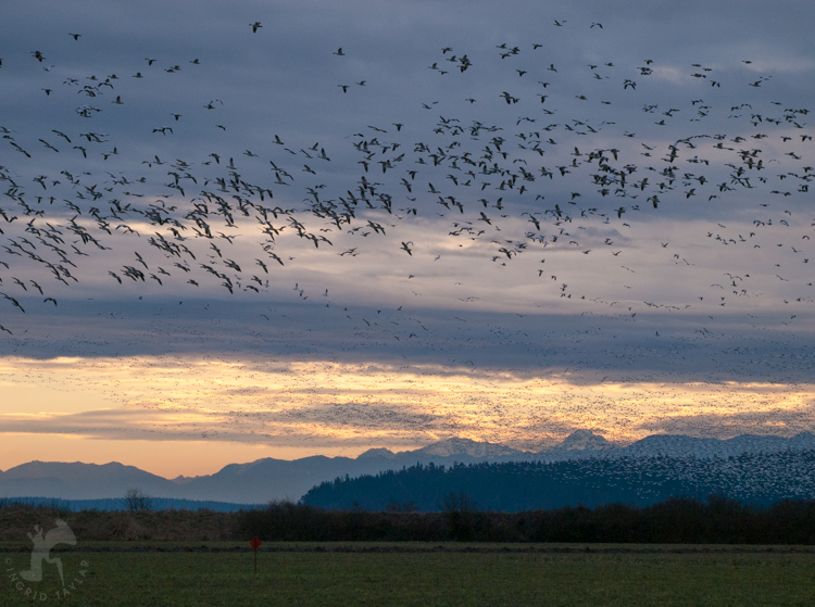 Snow Geese Flying at Dusk