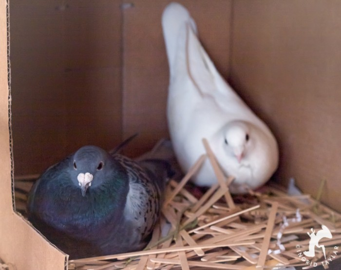 Pigeons in nesting box