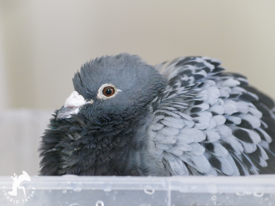 Pigeon in homemade bath