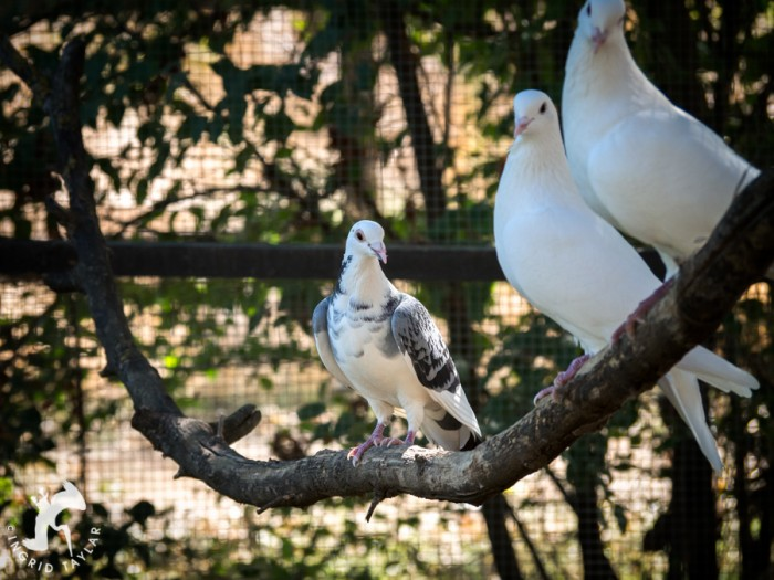 White and blue pigeons in aviary