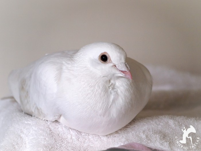 White racing pigeon