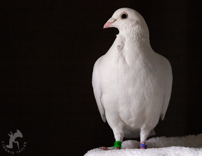White pigeon on black background