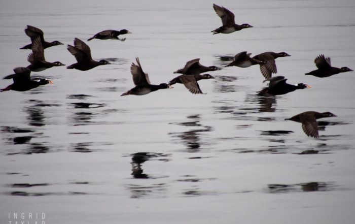 Surf Scoters in Flight