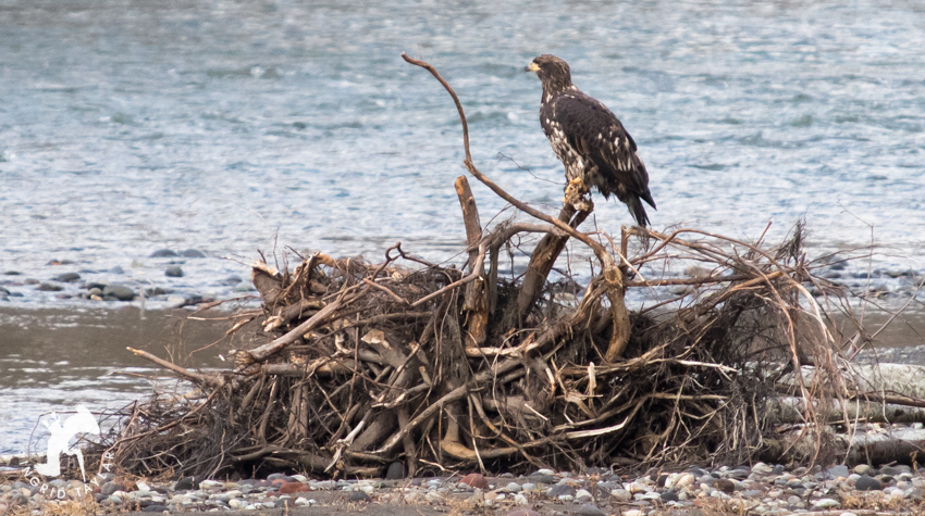 Bald Eagle Sub-Adult on Nooksack River