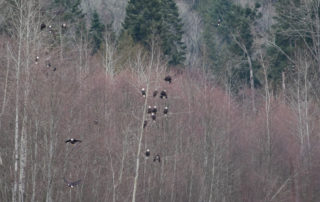 Bald Eagles in Trees in British Columbia