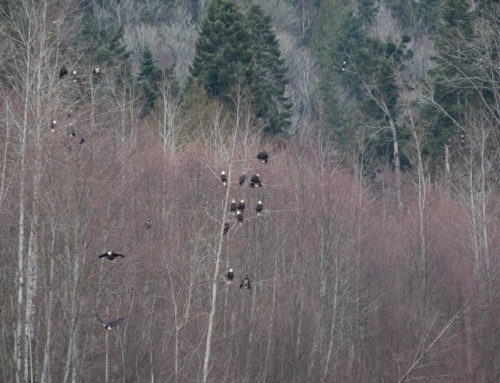 """""""Proof of Life"""" Photography – Part 2 – Proof of Eagles"""