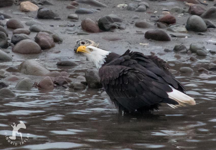 Bald Eagle at Squamish River