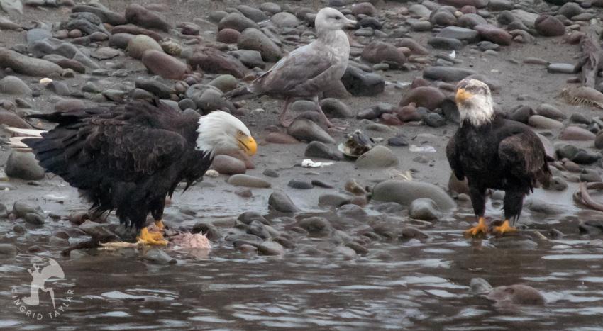 Bald Eagles on Squamish River British Columbia
