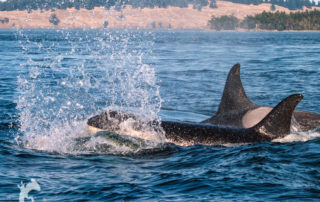 Orcas on the Salish Sea