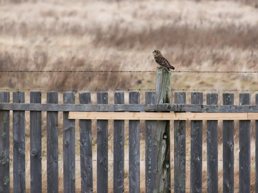 Short-eared Owl at Boundary Bay