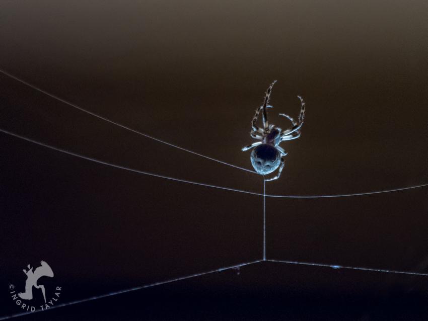 Backlit spider weaving web