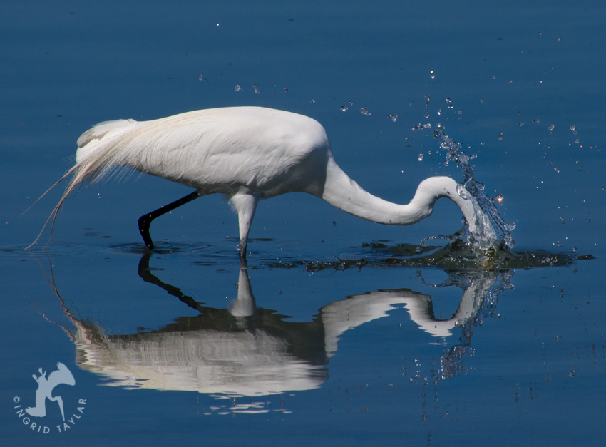 Great Egret fishing into reflection