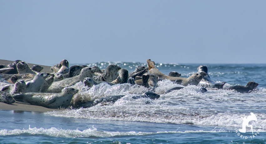 Harbor Seals hauled out in Lincoln City Oregon