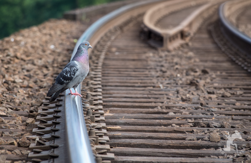 Pigeon walking on railroad track