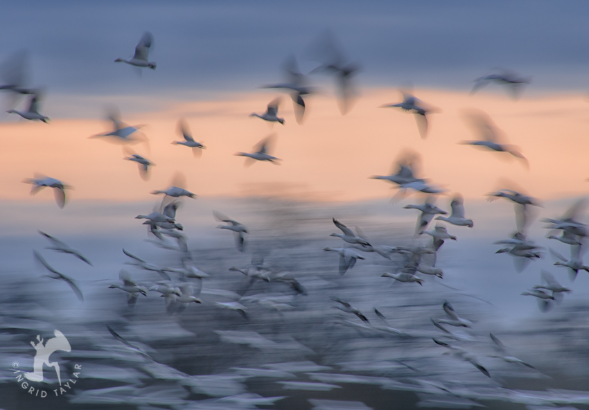 Snow Goose Wing Blur Photo
