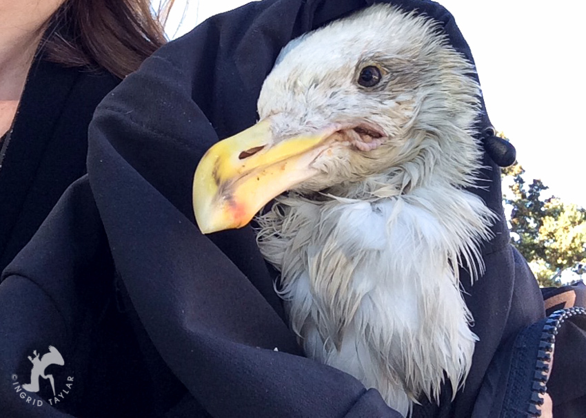 Rescued Western Gull with Fishing Line