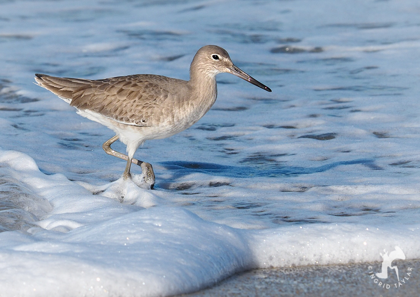 Willet in the Surf on Redondo Beach