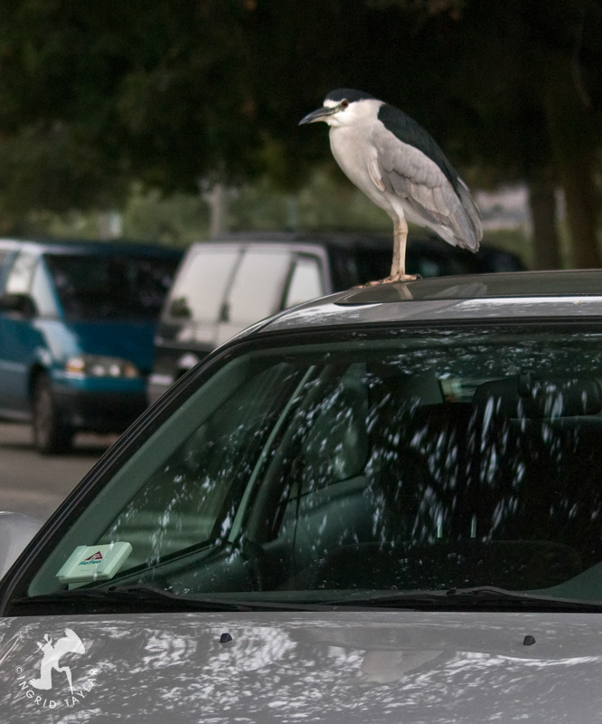 Black-crowned Night Heron on Car